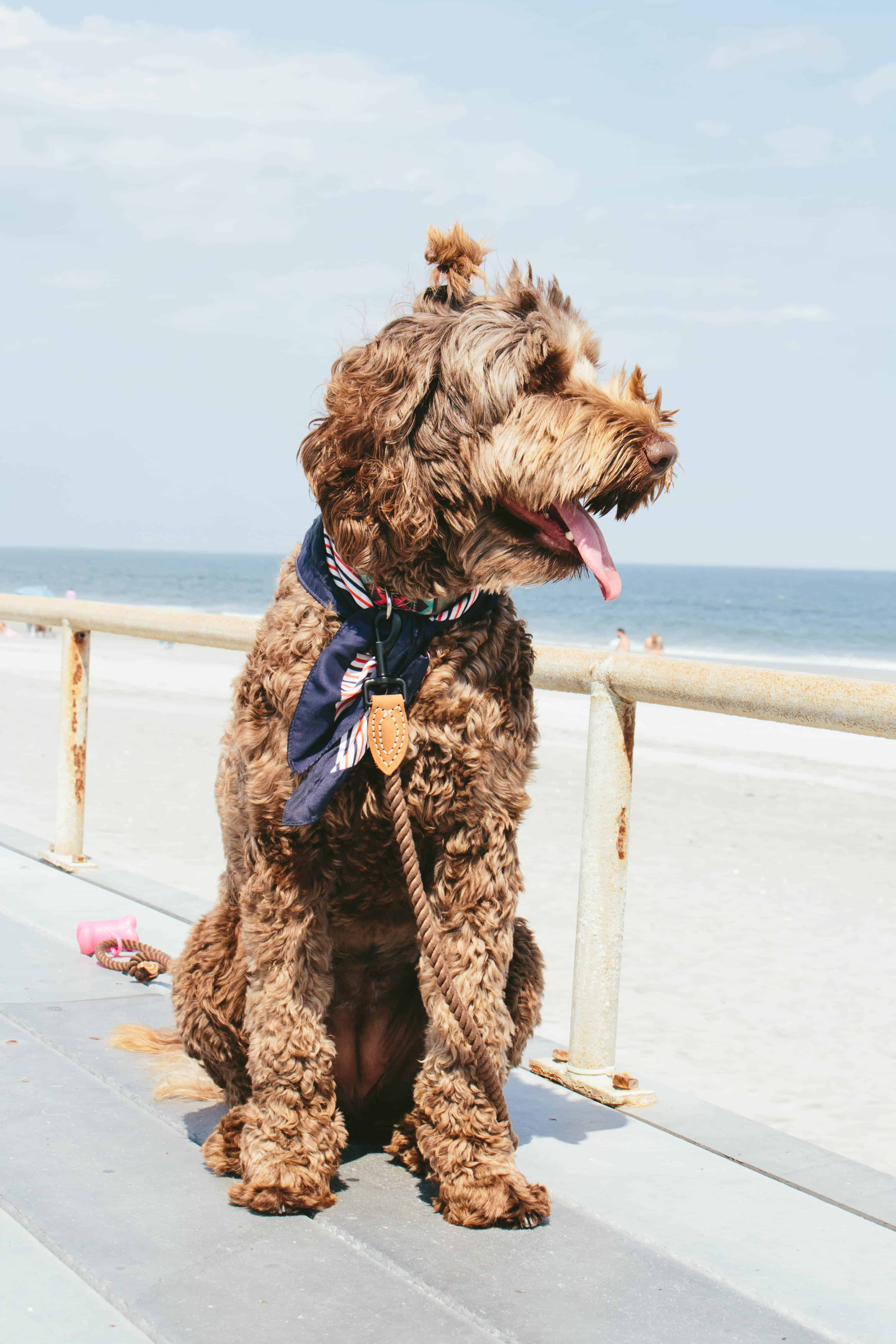 chocolate labradoodle with ponytail